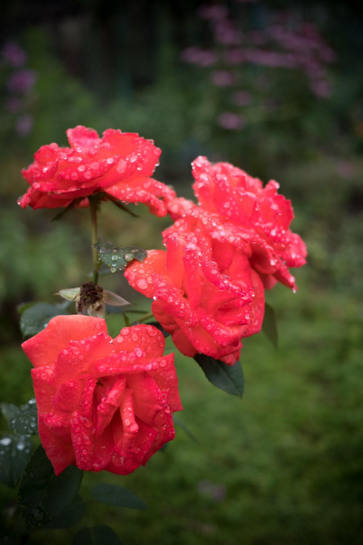 雨上がりび深緑の上に艶めかしく浮かぶ、滴る真紅の薔薇の花
