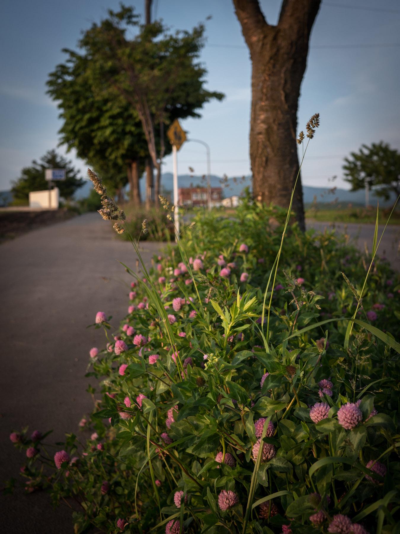 函館未来大学への路傍に咲くあざみ