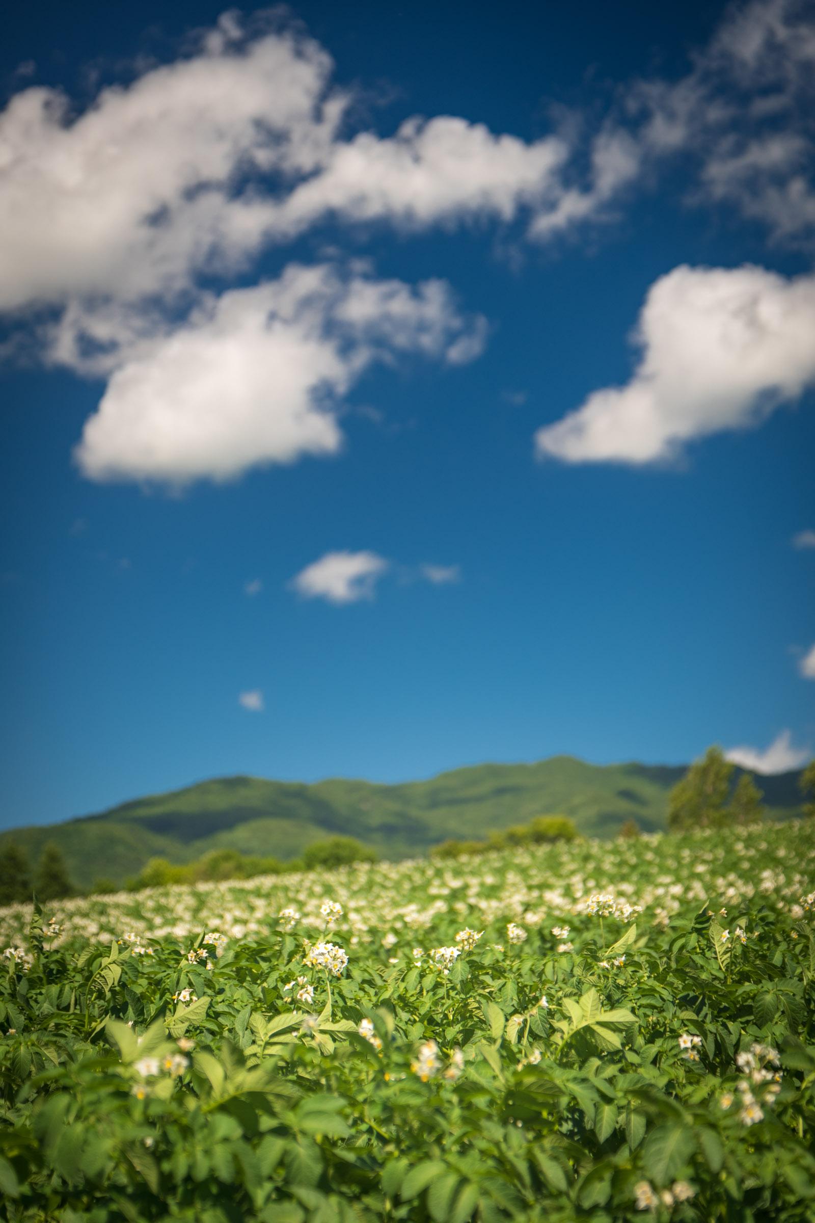 函館市亀田中野町 咲き誇るジャガイモの花と青空と白い雲 撮影:NIKON D500 + TOKINA 16-50mm