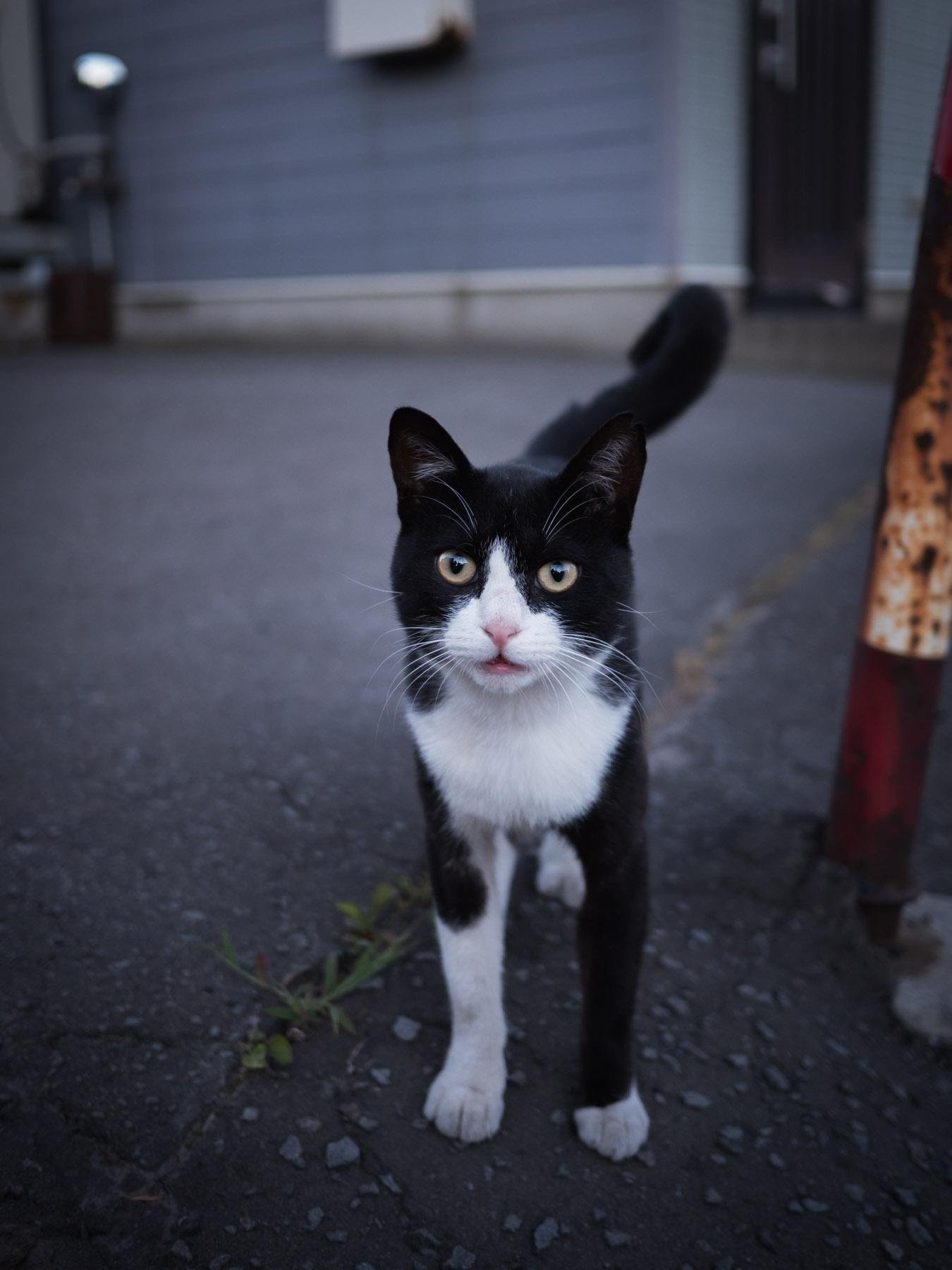 こちらに向かってくる白ぶちの黒猫