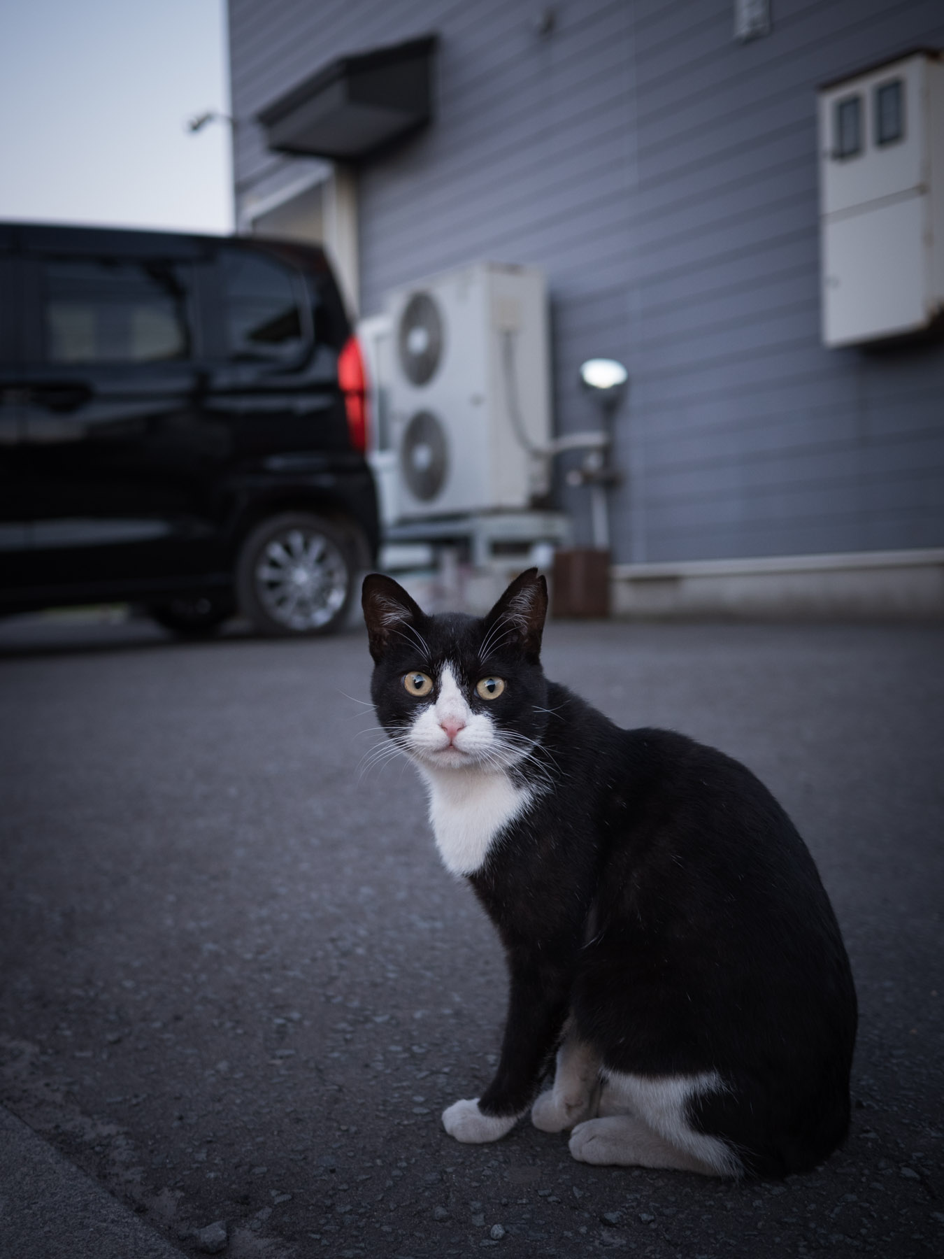 「元宝」の駐車場に座り、こちらを見つめる白ブチの黒猫