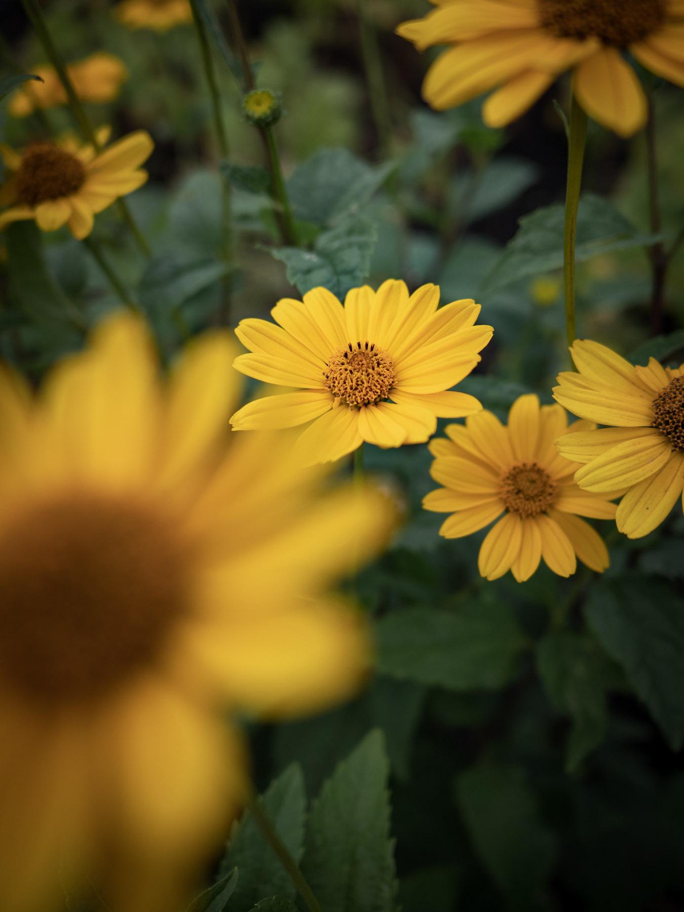 F2.0、縦位置で撮影した黄色い花 前ボケ、後ボケが美しい