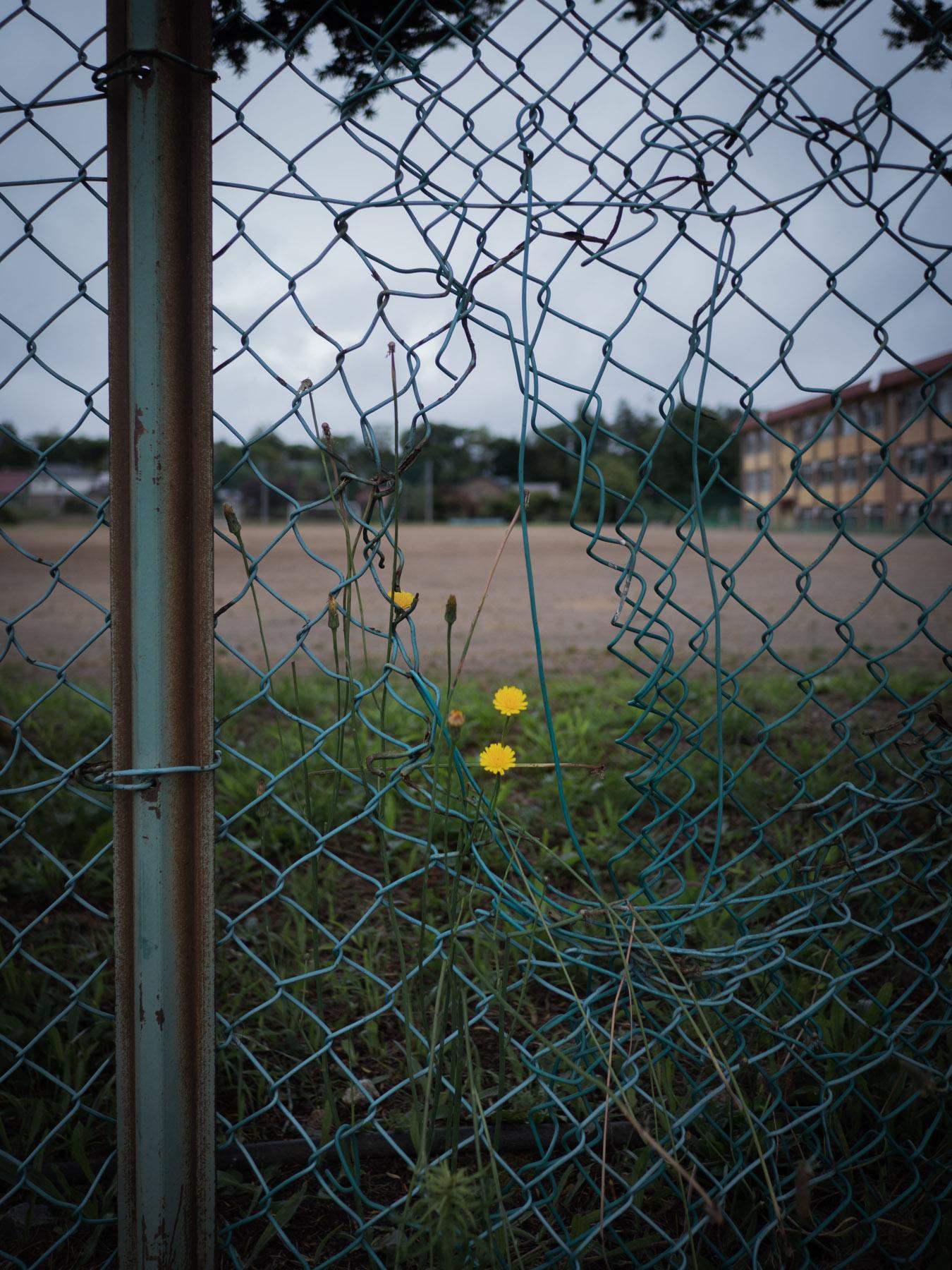 赤川中学校の金網フェンスと小さな黄色い花