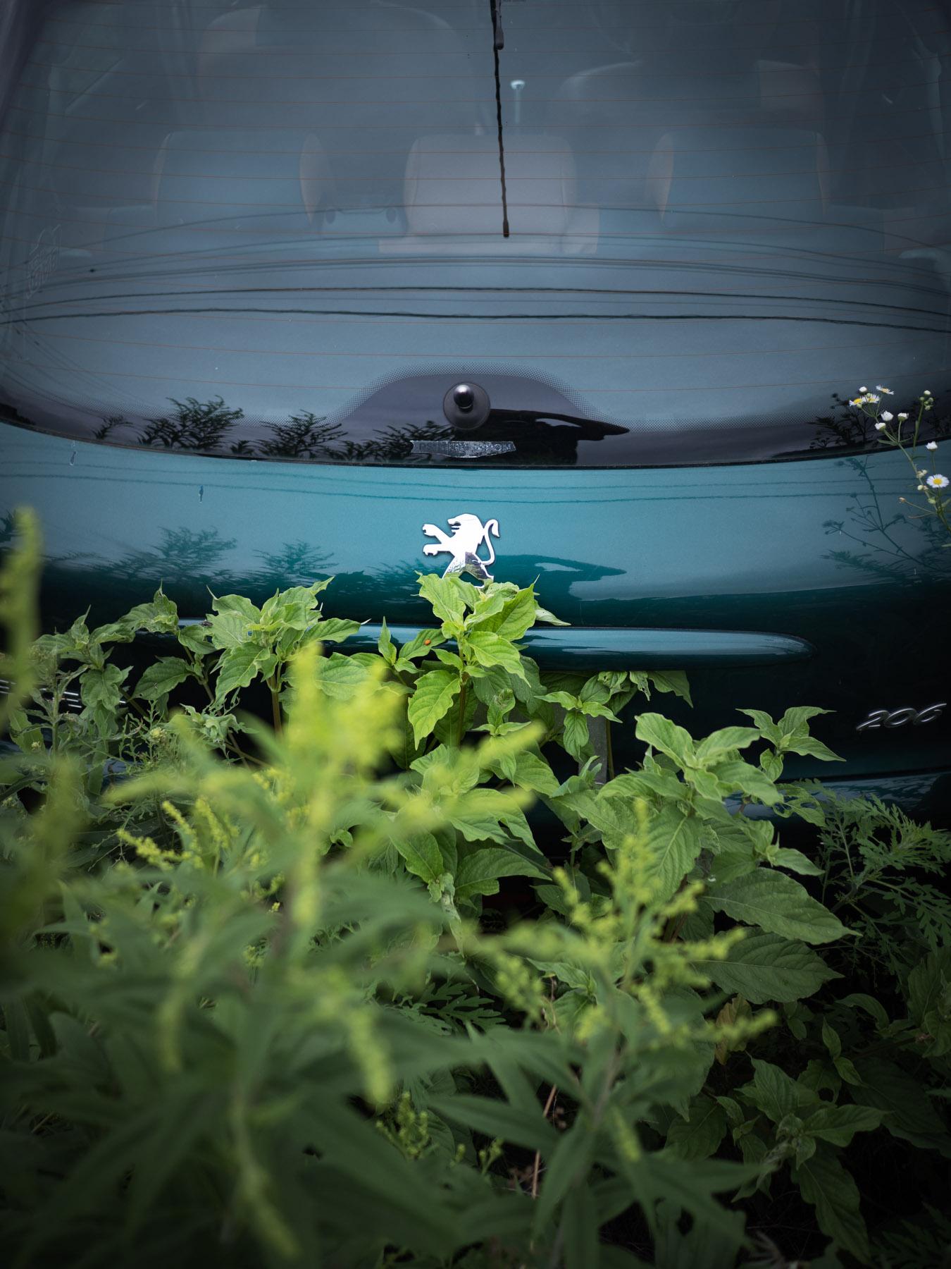 雑草の生い茂る廃車置き場のブルーグリーンのプジョー