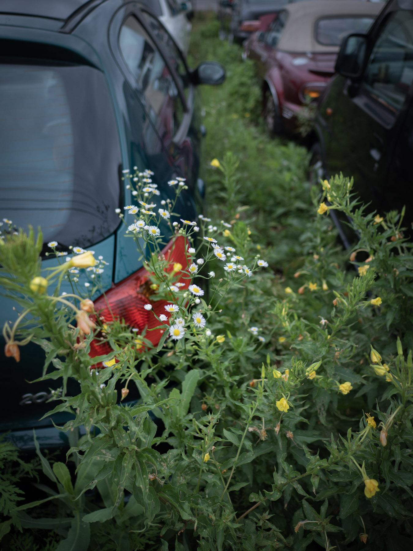 廃車と廃車の間に生い茂る雑草と白い花