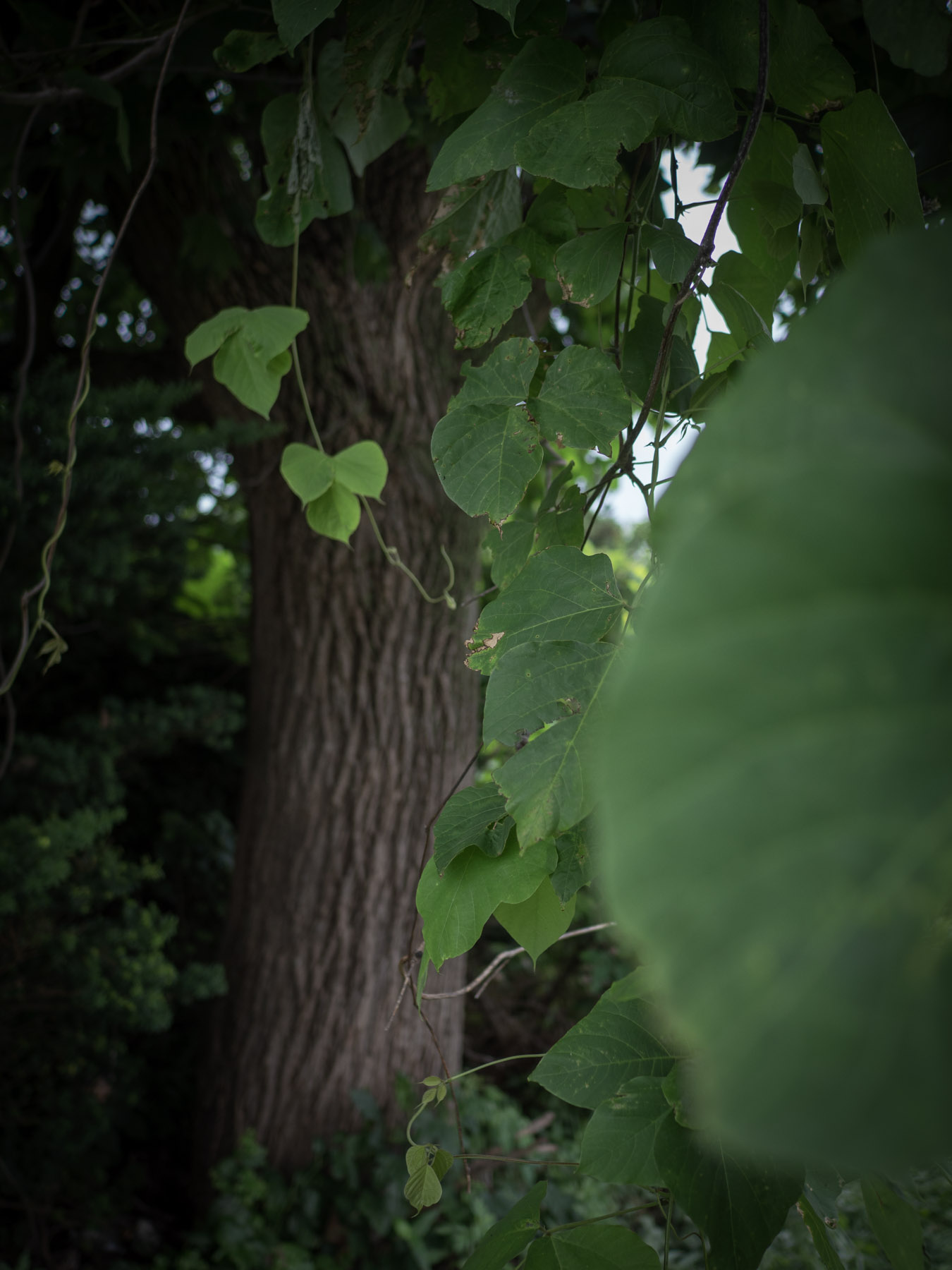 手前にボケた葉、真ん中にピントが合った葉、後ろにボケた樹皮