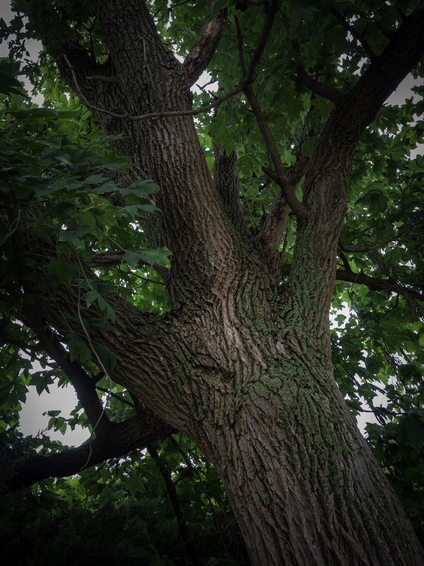 大きな木の樹皮