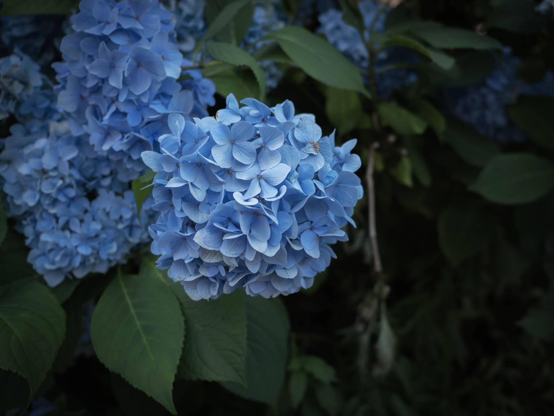 日陰に浮かびあがる妖艶で涼やかな紫陽花の青