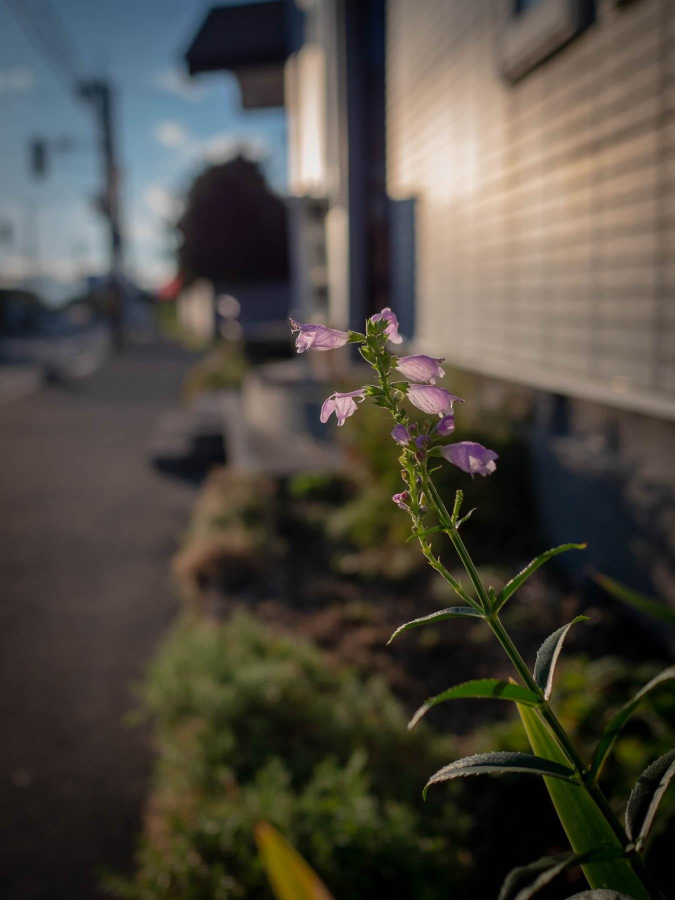 残照に透けて輝く路傍の小さな花