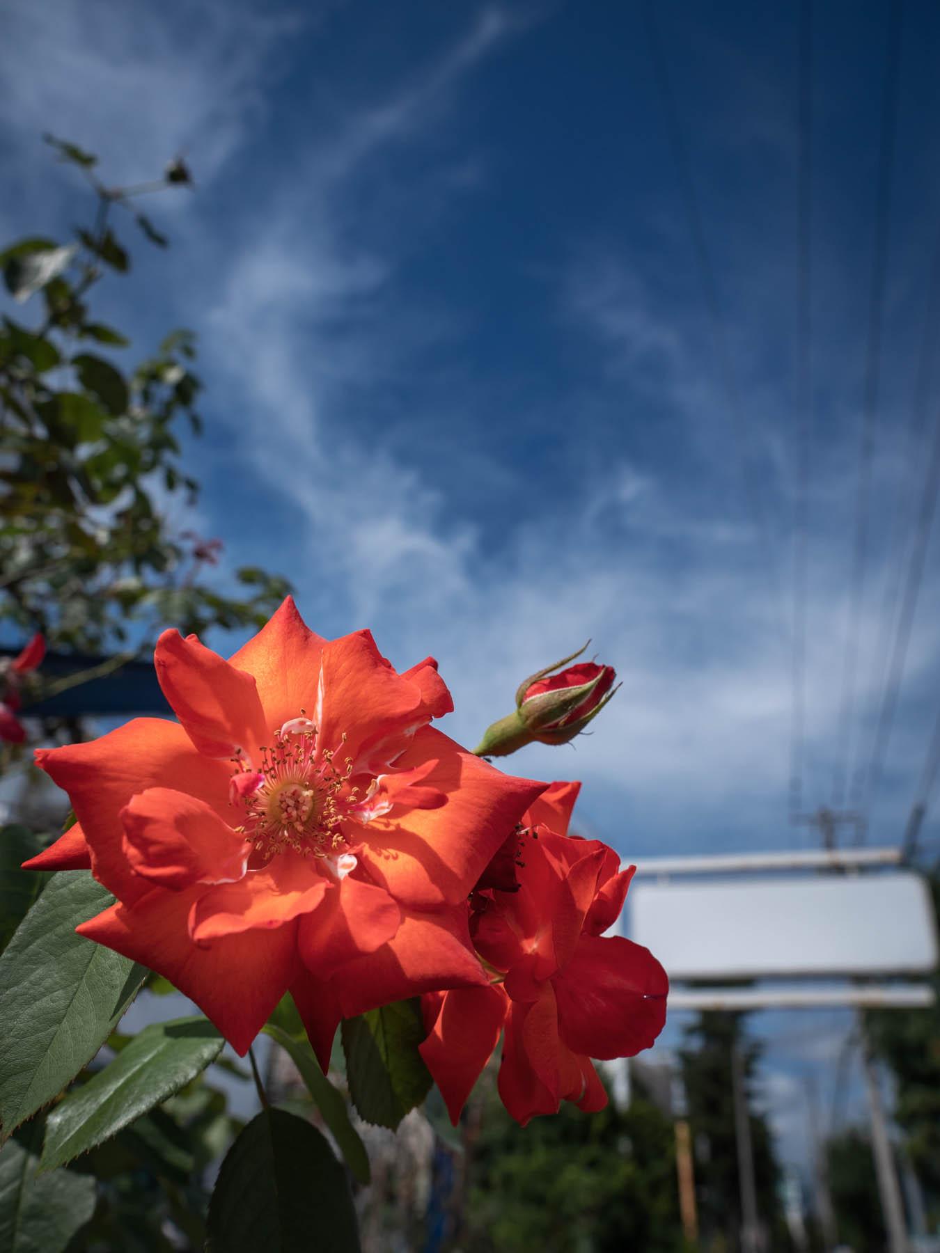 閉店したヘアーサロンの敷地に取り残されたバラに似た真っ赤な花と夏の空