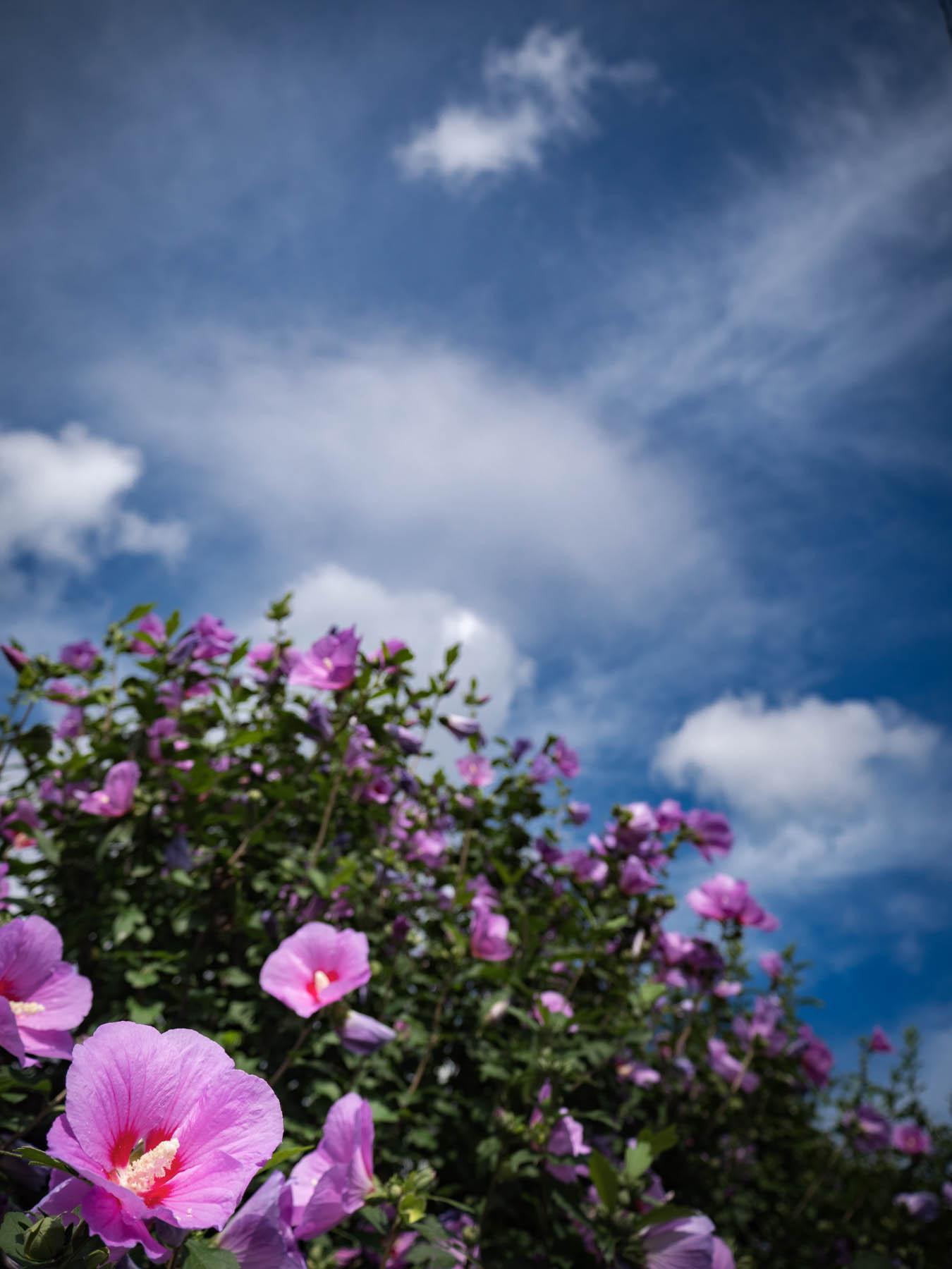 咲き乱れる昼顔と青い夏空