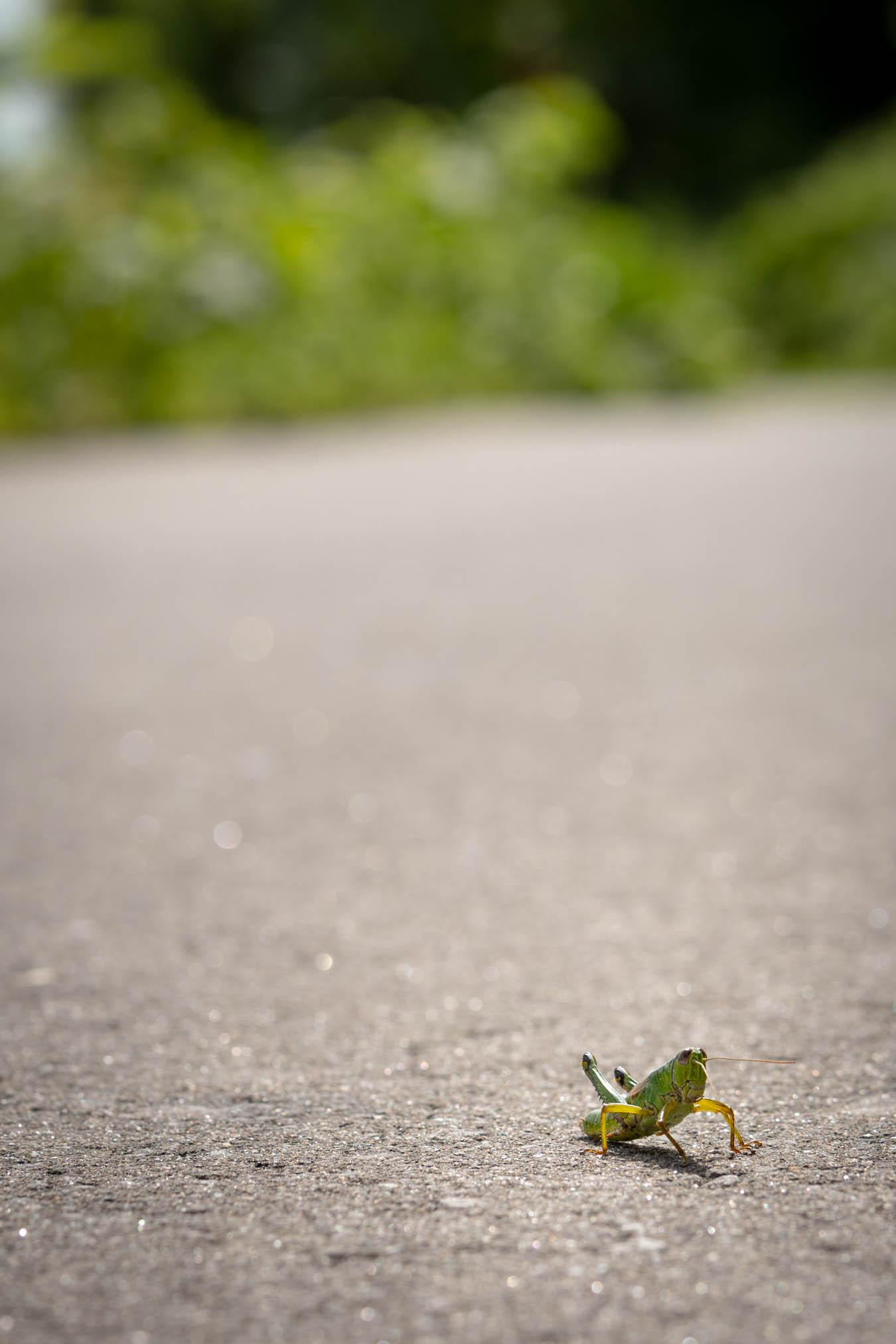 アスファルト道路の上で陽差しを浴びるバッタ