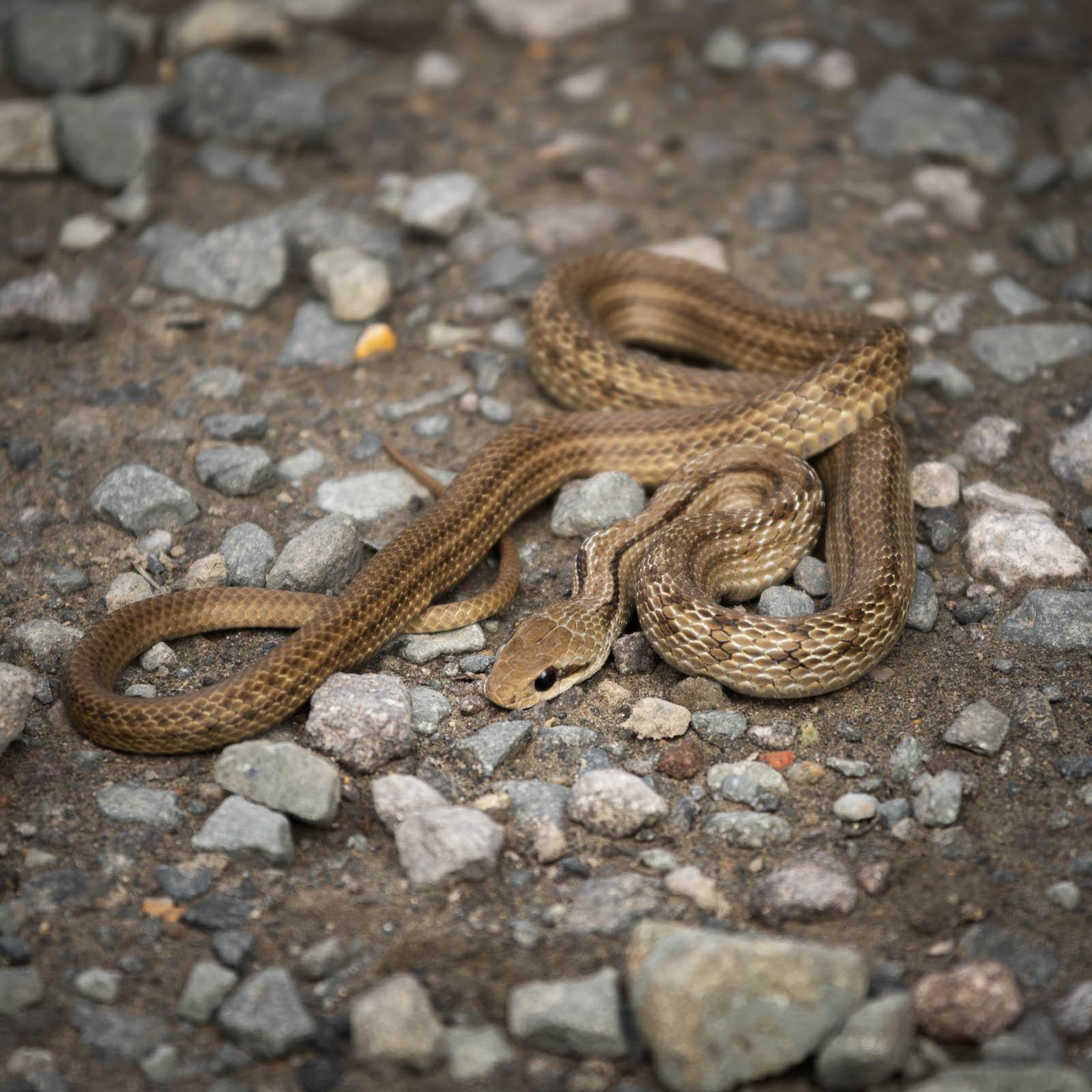路傍でうずくまる茶褐色のヘビ
