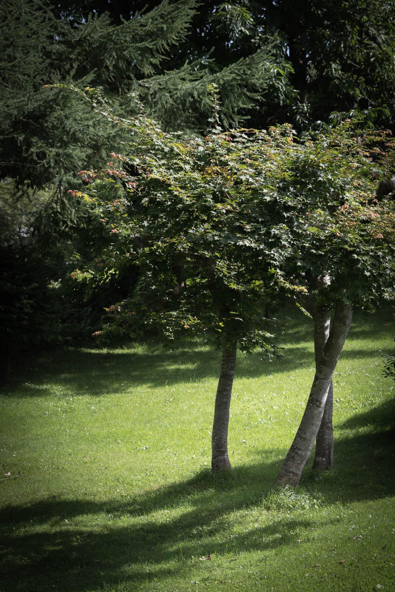 緑の芝に枝を広げる3本の木と、芝に落ちる黒々とした影