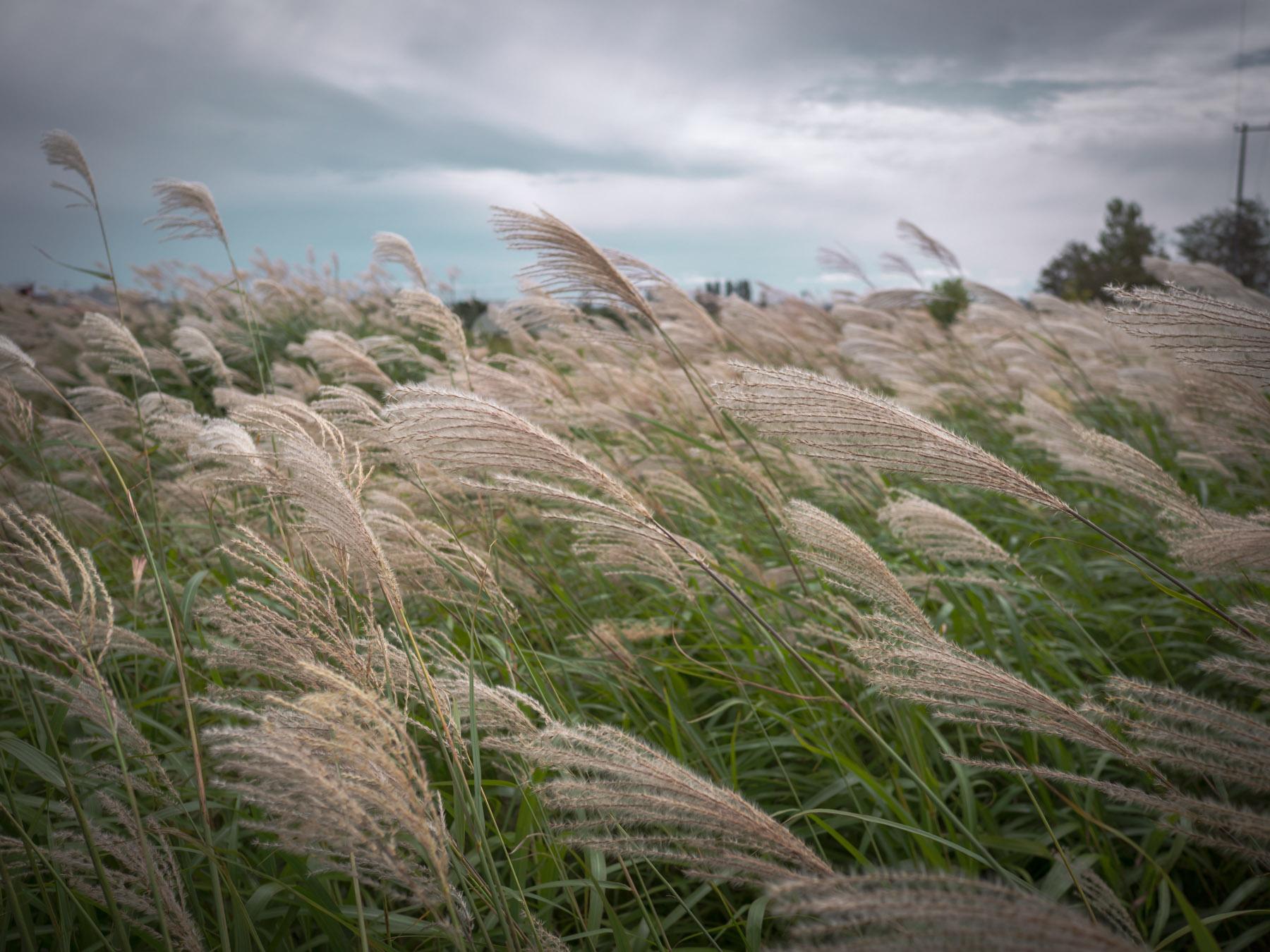 風に揺れる、新道沿いの空き地のススキ
